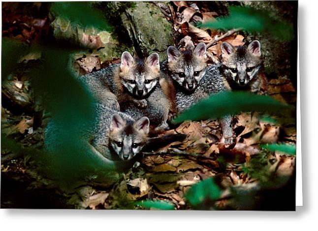 Gray Fox Kits Greeting Card by Lloyd Grotjan