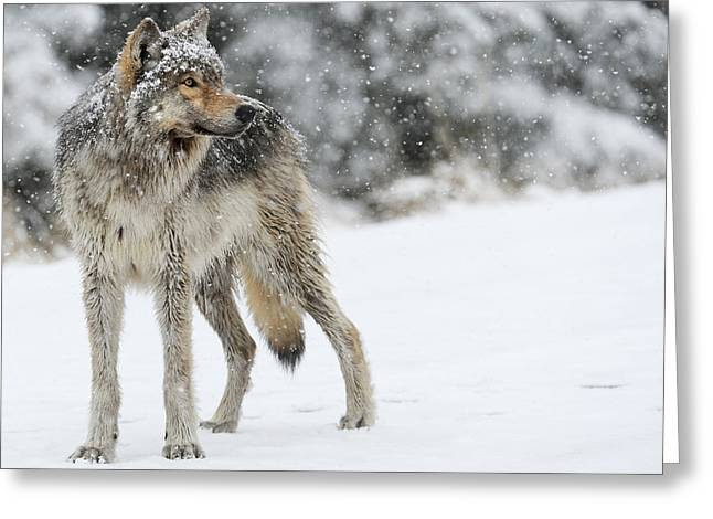 Gray Ghost Of The Northfork II Greeting Card by Amy Gerber