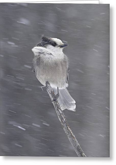 Gray Jay Greeting Card by Philippe Francis