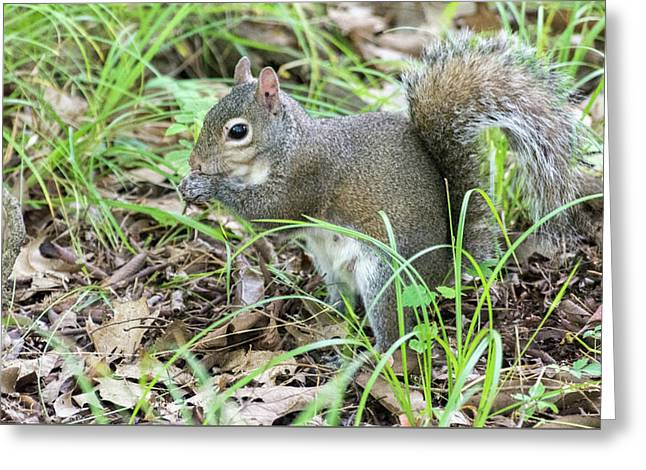Gray Squirrel Eating Greeting Card
