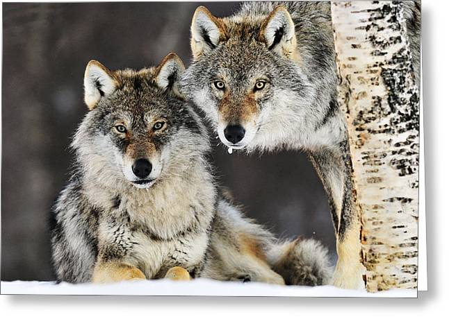 Wolf Head Greeting Cards - Gray Wolf Canis Lupus Pair In The Snow Greeting Card by Jasper Doest
