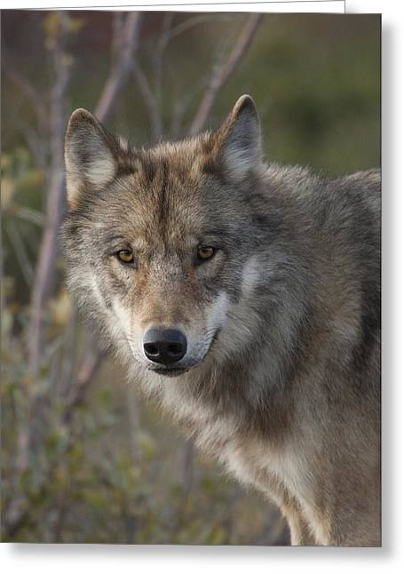 Wolf Head Greeting Cards - Gray Wolf Canis Lupus Portrait, Alaska Greeting Card by Michael Quinton