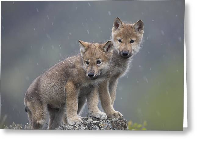 Gray Wolf Canis Lupus Pups In Light Greeting Card