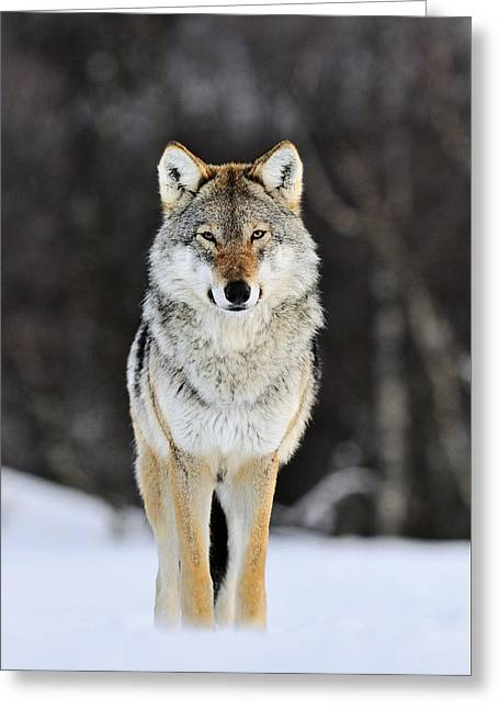 Gray Wolf In The Snow Greeting Card