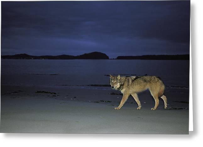 Gray Wolf On Beach At Twilight Greeting Card by Joel Sartore