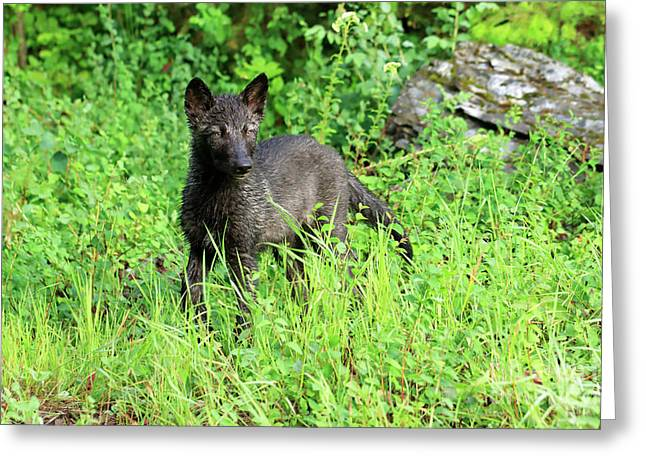 Gray Wolf Pup Greeting Card by Louise Heusinkveld