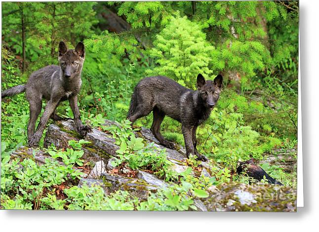 Gray Wolf Pups Greeting Card by Louise Heusinkveld