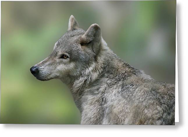 Sandy Keeton Photography Greeting Cards - Gray Wolf  Greeting Card by Sandy Keeton