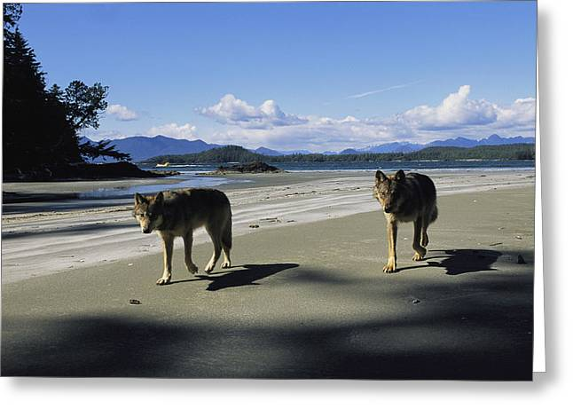 Gray Wolves On Beach Greeting Card by Joel Sartore