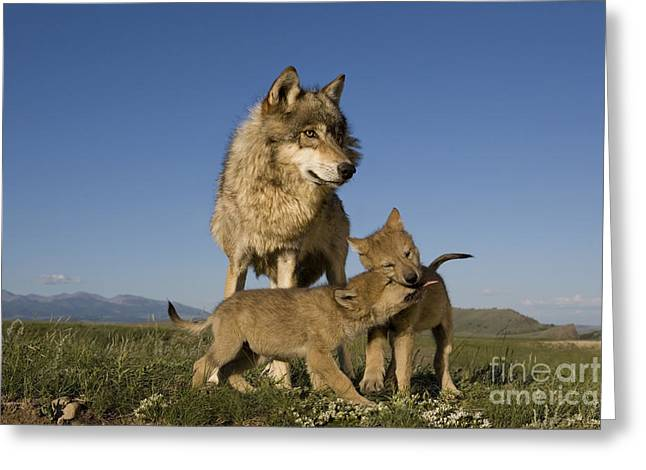 Gray Wolves Playing Greeting Card by Jean-Louis Klein & Marie-Luce Hubert