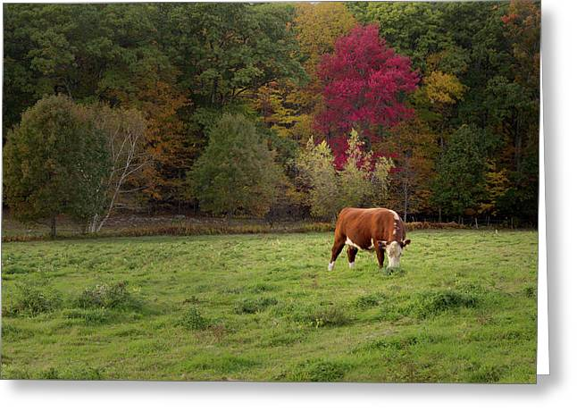 Grazing Ayrshire Cow Greeting Card