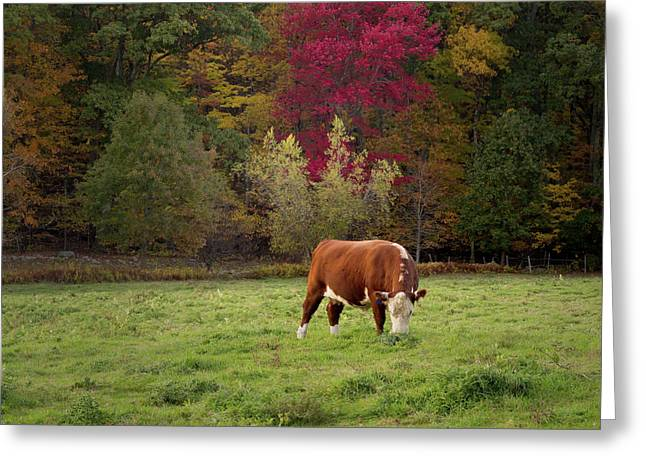 Grazing Ayrshire Cow Square Greeting Card
