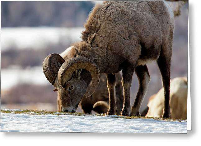 Grazing Big Horn Greeting Card