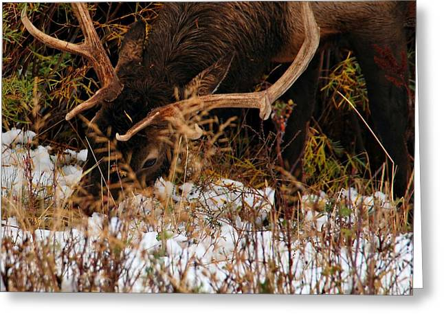 Grazing Elk 1 - Estes Park Greeting Card