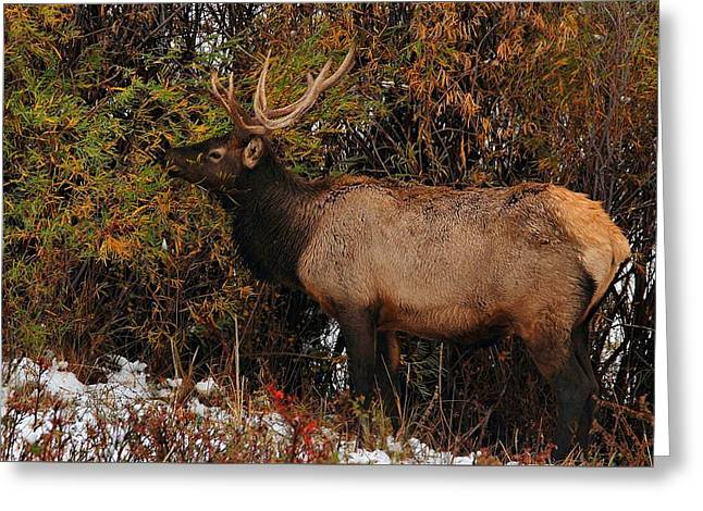 Grazing Elk - Estes Park Greeting Card