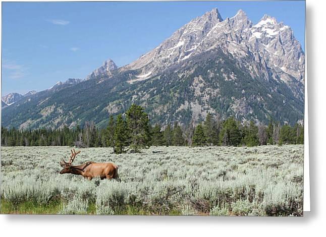 Grazing Elk In Grand Teton National Park Greeting Card
