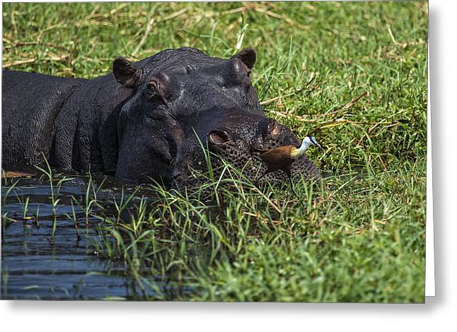 The Hippo And The Jacana Bird Greeting Card