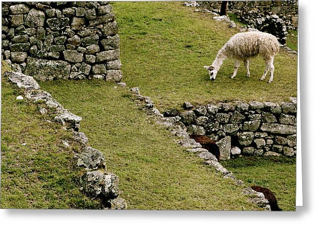 Grazing In Machu Picchu Greeting Card