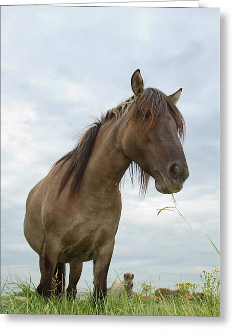 Grazing Konik Horse On A Cloudy Summer Day Greeting Card