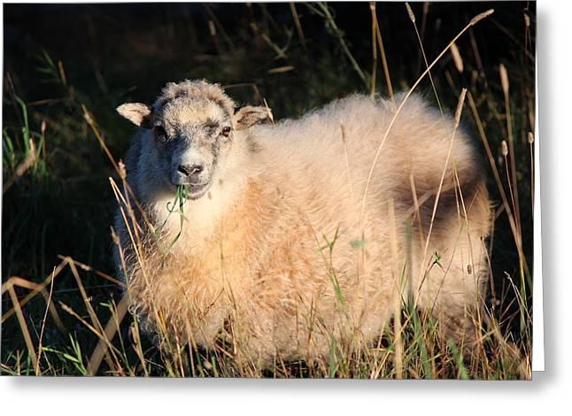 Grazing Sheep Greeting Card