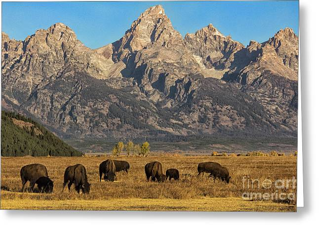 Grazing Under The Tetons Wildlife Art By Kaylyn Franks Greeting Card