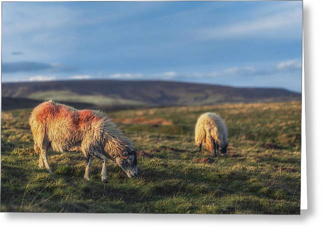 Grazing With Suspicion Greeting Card by Chris Fletcher