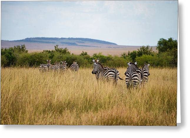 Grazing Zebras Greeting Card