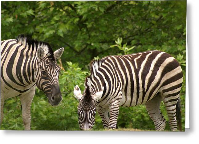 Grazing Zebras Greeting Card by Sonja Anderson