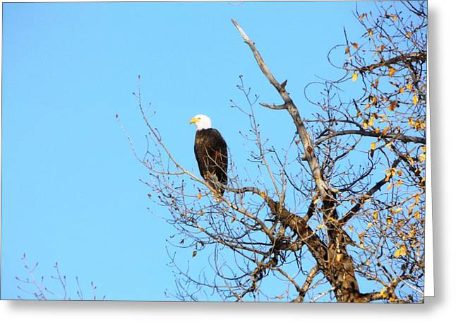 Great American Bald Eagle Greeting Card