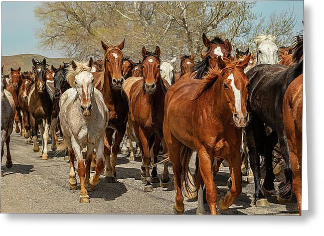 Greeting Card featuring the photograph Great American Horse Drive by Brenda Jacobs