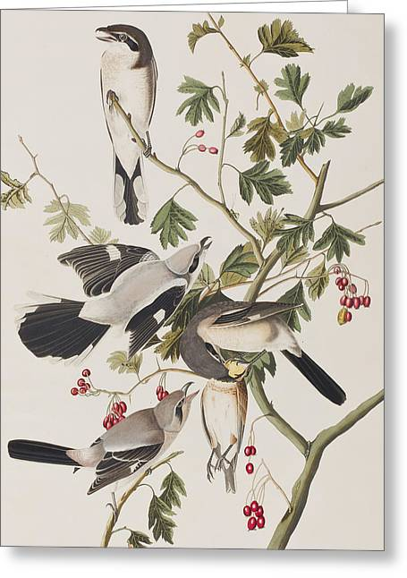 Great American Shrike Greeting Card by John James Audubon