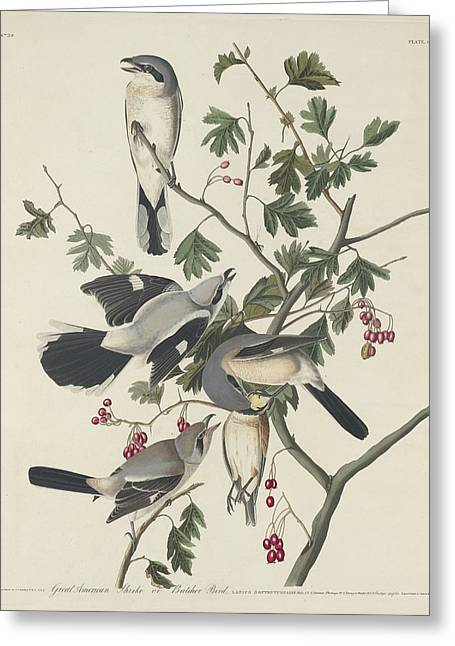 Great American Shrike Or Butcher Bird Greeting Card