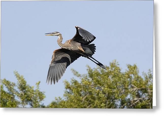 Greeting Card featuring the photograph Great Blue And Shadow  by Phil Stone