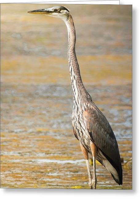 Great Blue At The Flats Greeting Card by Robert Frederick
