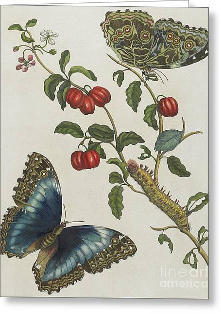 Great Blue Butterflies And Red Fruits Greeting Card by Maria Sibylla Graff Merian