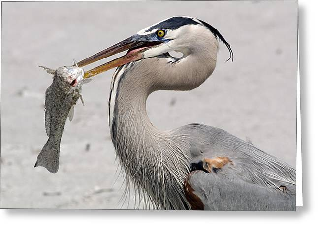 Greeting Card featuring the photograph Great Blue Catch by Phil Stone