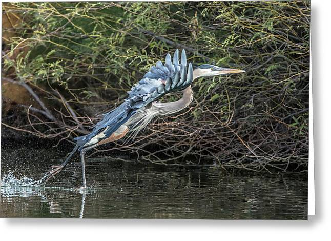 Great Blue Heron 0961 Greeting Card by Tam Ryan