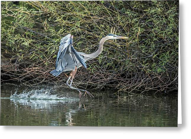 Great Blue Heron 0962 Greeting Card by Tam Ryan