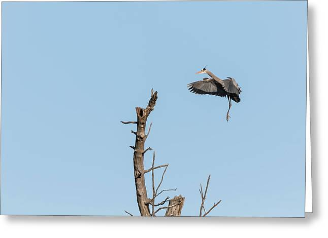 Great Blue Heron 2017-3 Greeting Card by Thomas Young