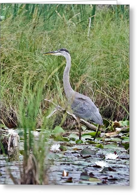 Great Blue Heron 6056 Greeting Card