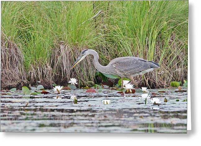 Great Blue Heron 6140 Greeting Card