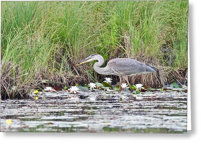 Great Blue Heron 6180 Greeting Card