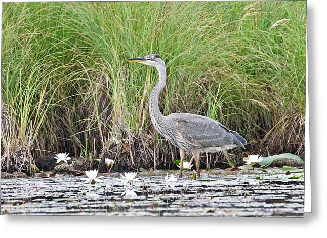 Great Blue Heron 6209 Greeting Card