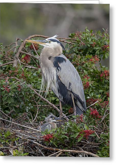 Great Blue Heron And Nestling Greeting Card