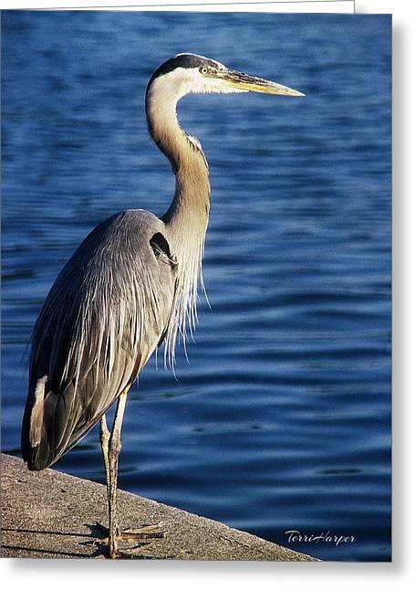 Great Blue Heron At Put-in-bay Greeting Card