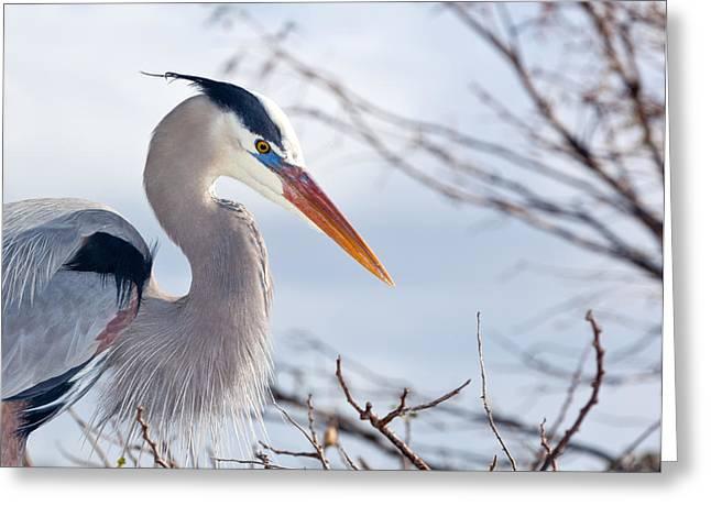 Wakodahatchee Greeting Cards - Great Blue Heron at Wakodahatchee Wetlands Greeting Card by Michelle Wiarda