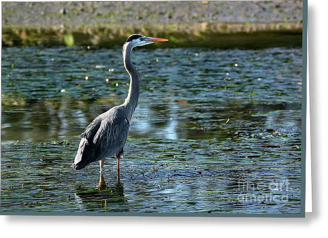 Great Blue Heron Catching The Light Greeting Card