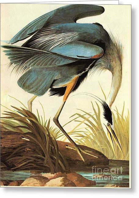 Great Blue Heron Greeting Card by Celestial Images