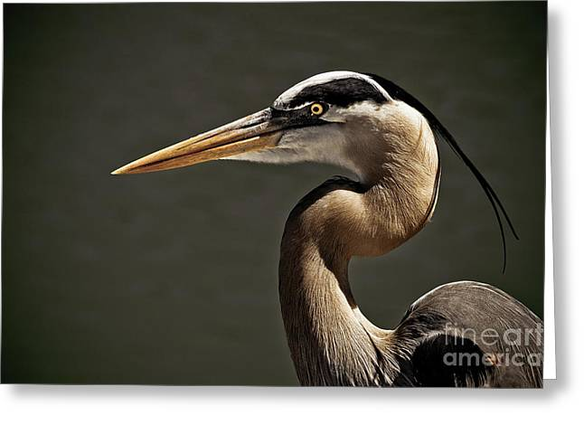 Great Blue Heron Close Up Portrait Greeting Card by Stefano Senise