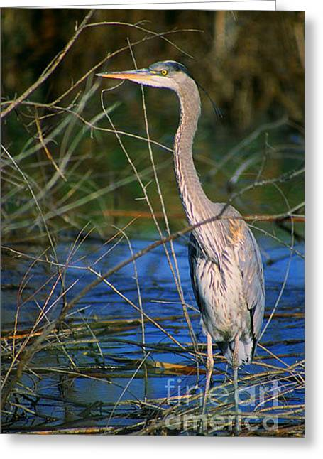 Great Blue Heron Greeting Card by Dennis Hammer